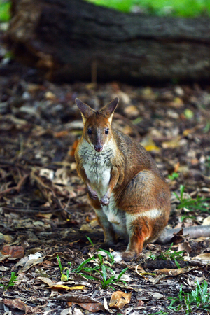 threatened: Yellow-footed rock-wallaby (Petrogale xanthopus) in Queensland, Australia.It  appears on the IUCN Red List of Threatened Species .