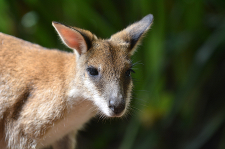 wallaby: Portrait of Agile wallaby in Queensland  Australia