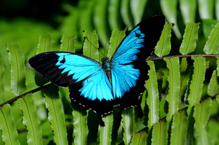 papilio: Ulysses Swallowtail (Papilio ulysses) is a large swallowtail butterfly of Australasia.  This butterfly is used as an emblem for Queensland tourismblol. Stock Photo