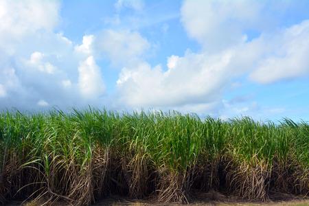 sugar cane farm: Sugar cane grow in a farm in Queensland, Australia Stock Photo