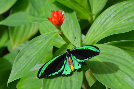 cairns: Cairns Birdwing (Ornithoptera euphorion) sit on a plant in the rainforest of Queensland, Australia is Australias largest endemic butterfly species