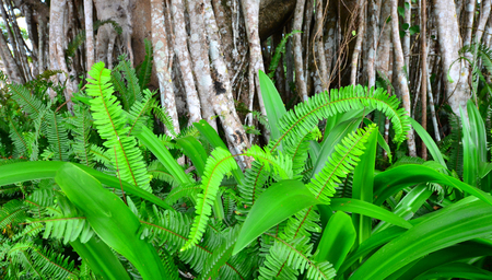 aerial roots: Green fern leaves growing under Banyan tree aerial roots.Nature background texture
