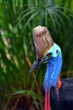 cassowary: Southern cassowary head against tropical foliage background live in Daintree National Park in the tropical north of Queensland, Australia Stock Photo