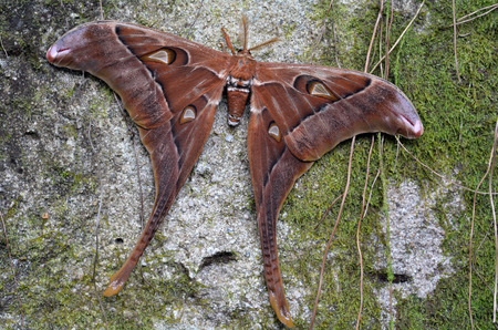 new guinea: Hercules Moth (Coscinocera hercules) endemic to New Guinea and northern Australia Its the largest moth found in Australia.its wings have the largest surface area (300 cm2) of any living insect. Archivio Fotografico