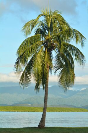port douglas: Palm tree on the coast of Port Douglas in the tropical north of  Queensland,  Australia