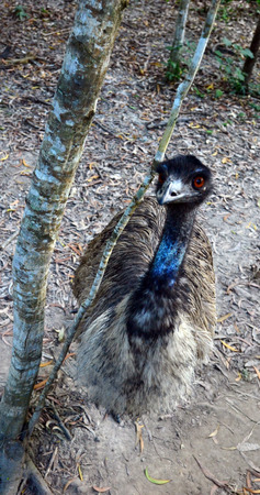 ratite: Emu (Dromaius novaehollandiae) the largest native bird of Australia and the second-largest living bird by height, after its ratite relative, the ostrich