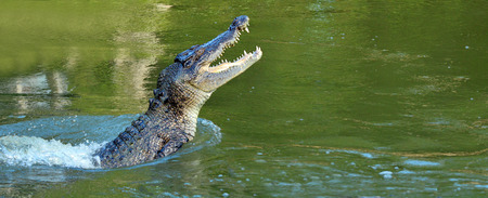 Saltwater crocodile leap out of the water in a river in Queensland Australia