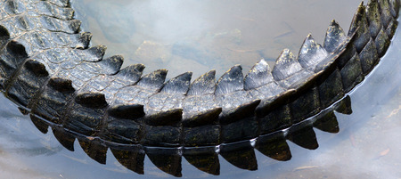 saltwater: Saltwater crocodile tail in a river in Queensland Australia Stock Photo
