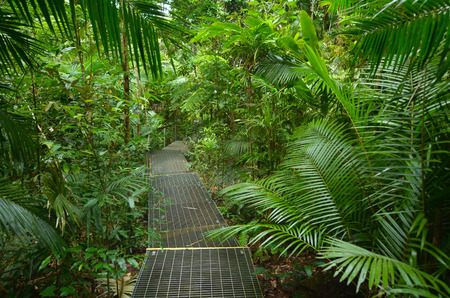 daintree: Path in Daintree National Park in the tropical north of Queensland, Australia founded in 1981 and  became a World Heritage Site in1998.