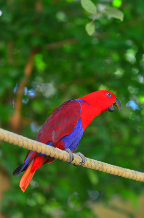 eclectus parrot: Eclectus parrot Female (Red) (Eclectus roratus) is a parrot native to the Solomon Islands, Sumba, New Guinea and nearby islands, northeastern Australia and the Maluku Islands (Moluccas). Stock Photo