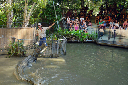 indopacific: QUEENSLAND, AUS - APR 21 2016:Trainer and Saltwater Crocodile during an Attack Show in Queensland Australia. Crocodiles have the strongest bite of any animal in the world.