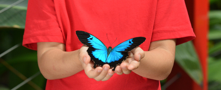 australasia: Hands of a little girl holds a Ulysses Swallowtail (Papilio ulysses) is a large swallowtail butterfly of Australasia.  This butterfly is used as an emblem for Queensland tourism symbol.