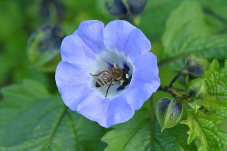 recoger: Abeja recoge el néctar de una flor morada en el jardín de su casa. Foto de archivo
