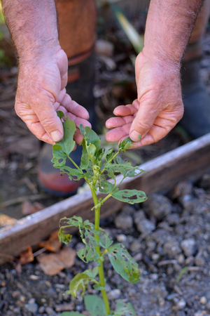 brassicae: Man hand check the damaged to a garden plant from white butterfly caterpillar. Stock Photo