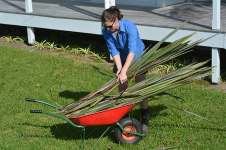 new zealand flax: Young New Zealander woman collect flax leaves into a wheelbarrow.