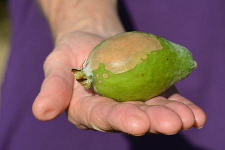 imbalance: Elderly woman hand hold a Feijoa infected by blossom-end rot. This relatively common garden problem of a fruit physiological disorder caused by a calcium imbalance within the plant.