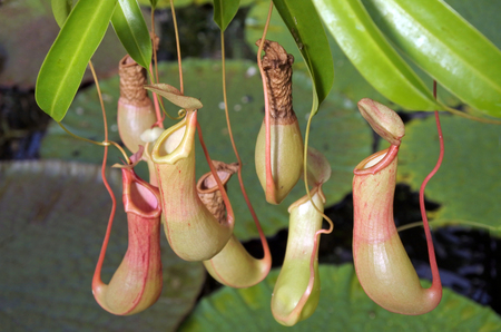 insectivorous plants: Nepenthes alata is a tropical pitcher plant endemic to the Philippines.Like all pitcher plants, it is carnivorous and uses its nectar to attract insects that drown in the pitcher and are digested by the plant.