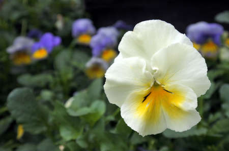 standout: White and yellow Garden pansy flower close up against purple and yellow garden pansy flowers in the background.