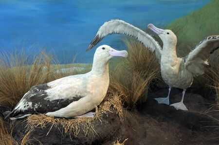 Short-tailed albatross couple. Once common, it was brought to the edge of extinction by the trade in feathers, but with protection has recently made a recovery. Stock Photo