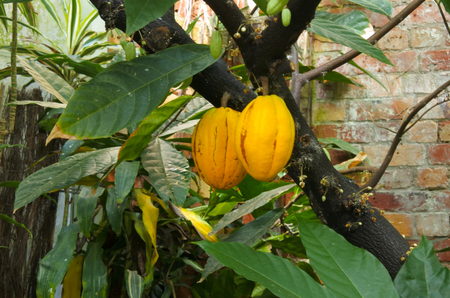 Theobroma cacao tree grow in a garden.Its a native to the deep tropical regions of Central and South America. Its seeds, cocoa beans, are used to make cocoa mass, cocoa powder, and chocolate. Stock Photo