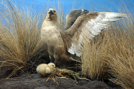Short-tailed albatross mother and chick. Once common, it was brought to the edge of extinction by the trade in feathers, but with protection has recently made a recovery.