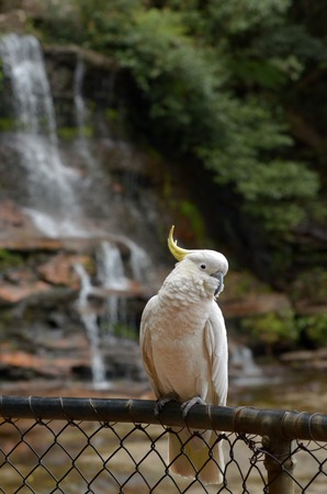nsw: Cockatoo sit on a fence in of Katoomba Falls in Jamison Valley rainforest near  Katoomba at the Blue Mountains of New South Wale, Australia.