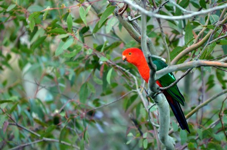Eclectus parrot Male (green) (Eclectus roratus) is a parrot native to the Solomon Islands, Sumba, New Guinea and nearby islands, northeastern Australia and the Maluku Islands (Moluccas). Stock Photo