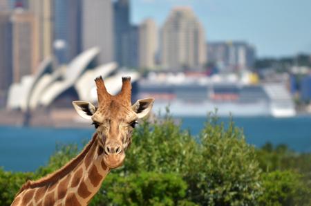 Giraffe in Taronga Zoo against Sydney skyline New South Wales, Australia.