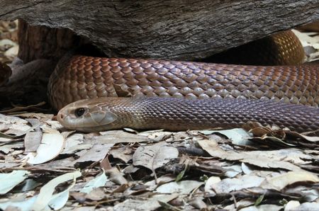 Eastern brown snake, considered the world's second most venomous land snake based on its LD50 value (SC) in mice. It is native to Australia, Papua New Guinea, and Indonesia. Banque d'images