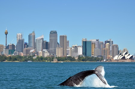 The tail of a Humpback Whale (Megaptera novaeangliae) rises above the water against Sydney skyline in New South Wales, Australia.