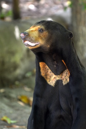 habitats: Sun bear standing, found in tropical forest habitats of Southeast Asia. Stock Photo