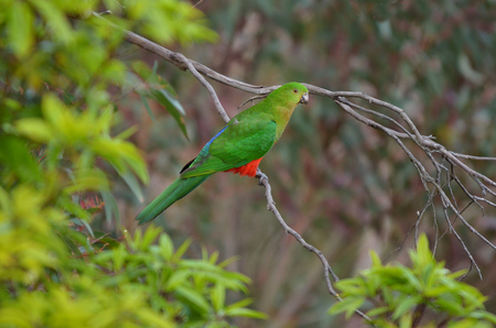 eclectus roratus: Eclectus parrot Male (green) (Eclectus roratus) is a parrot native to the Solomon Islands, Sumba, New Guinea and nearby islands, northeastern Australia and the Maluku Islands (Moluccas). Stock Photo
