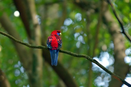 Eclectus parrot Female (Red) (Eclectus roratus) is a parrot native to the Solomon Islands, Sumba, New Guinea and nearby islands, northeastern Australia and the Maluku Islands (Moluccas). Stock Photo
