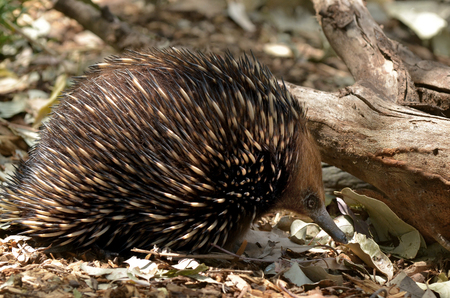 Echidna (spiny anteaters), live in Australia and New Guinea. Its one of the only few living mammals that lay eggs.