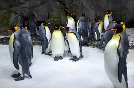king penguins: Group of King penguins in a colony. Its the second largest species of penguin in size second only to the emperor penguin.