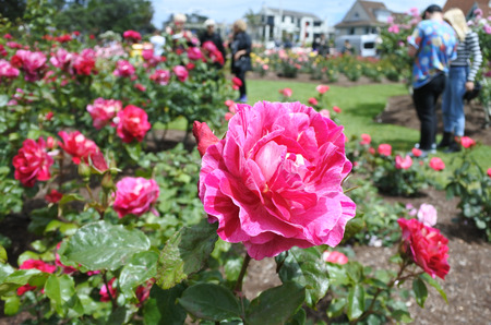Close up of a pink rose in Parnell Rose Gardens in Auckland, New Zealand.