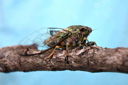 Annual cicada, Neotibicen linnei.Cicada have been used in myths and folklore to represent carefree living and immortality