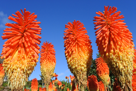 Red hot poker Plant - Fiery colored Kniphofia, against blue sky. Nature background and texture. copy space Banco de Imagens