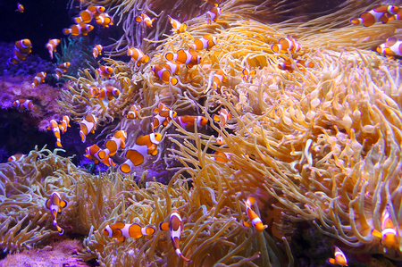 false percula: Ocellaris clownfish (Amphiprion ocellaris) swim in coral sea.  Underwater wildlife  background