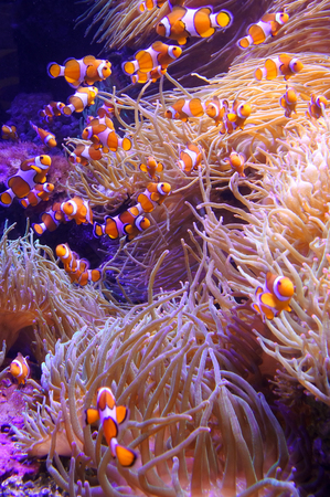 false percula: Ocellaris clownfish (Amphiprion ocellaris) swim in coral sea.  Underwater wildlife  background. Vertical