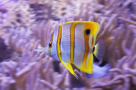 Yellow tropical butterflyfish, Copperband butterflyfish, with white stripes in the sea