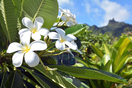 Plumeria flowers grows in Rarotonga, Cook Islands. In several Pacific islands, such as Tahiti, Fiji, Samoa, Hawaii, New Zealand, Tonga, and the Cook Islands plumeria species are used for making leis. Stock Photo