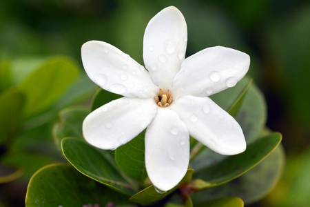 Tiare Maori, (Gardenia taitensis) grows in Rarotonga Island is the National Flower of the Cook Islands. Nature background. Copy space Stock Photo