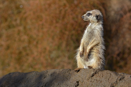 Meerkat Suricata suricatta standing on a rock looking away. The  Meerkat is an African native animal, small carnivore belonging to the mongoose family.