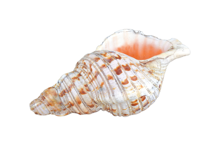 Polynesian Conch Shell Horn isolated on white background. Copy space
