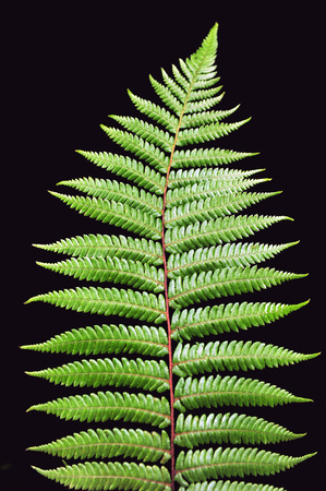 Dicksonia Squarrosa New Zealand Silver Fern isolated on black background. Copy space