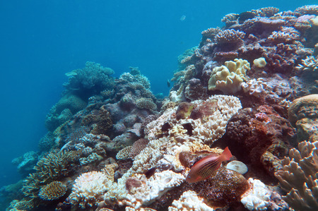 Live Coral reef and tropical fish swimming underwater at the Great Barrier Reef  Queensland,  Australia. Stock Photo
