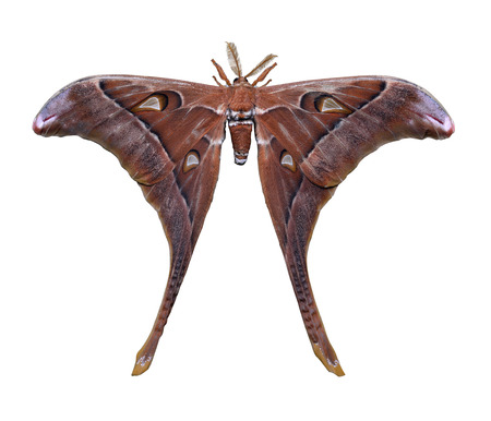 One large Hercules Moth isolated on white background. Copy space