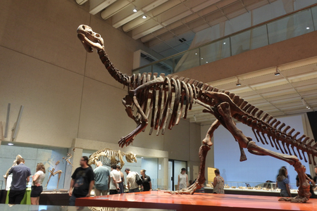 BRISBANE -JAN 02 2019:Life-size skeleton of Muttaburrasaurus langdoni dinosaurs in Queensland Museum.Muttaburrasaurus was a large, plant-eating ornithopod from the Early Cretaceous of eastern Australia. Editorial
