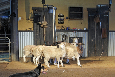 Australian working sheep dog herd sheep inside a sheep shearing shed. Foto de archivo - 118043669